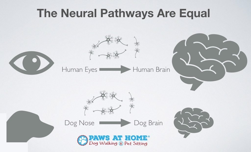 Human Brain VS Dog Brain